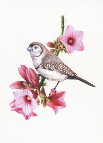 Double Barred Finch Illustration