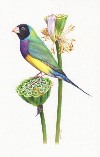 Gouldian Finch Illustration