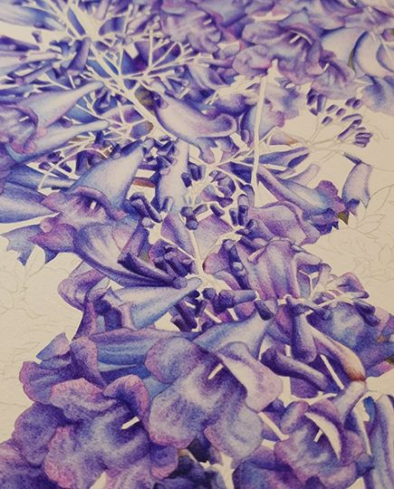 heidi willis_artist_jacaranda painting_watercolour_botanical illustration