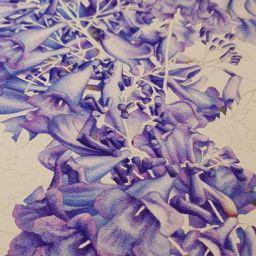 heidi willis_artist_jacaranda painting_watercolour_botanical illustration