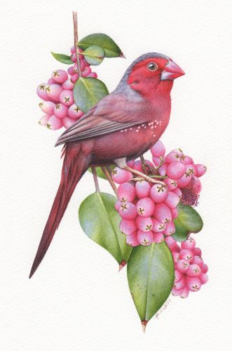 Crimson Finch Illustration