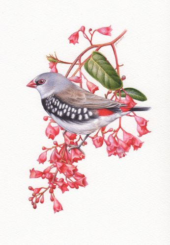 Diamond Firetail Finch Illustration