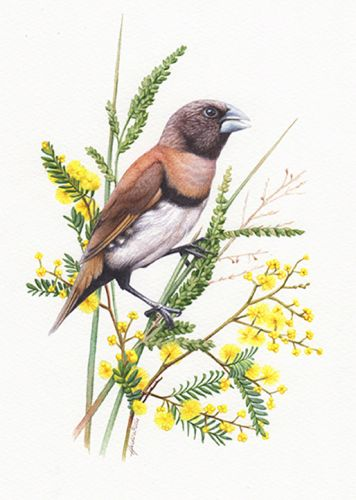 Chestnut Breasted Mannikin – Finch Illustration