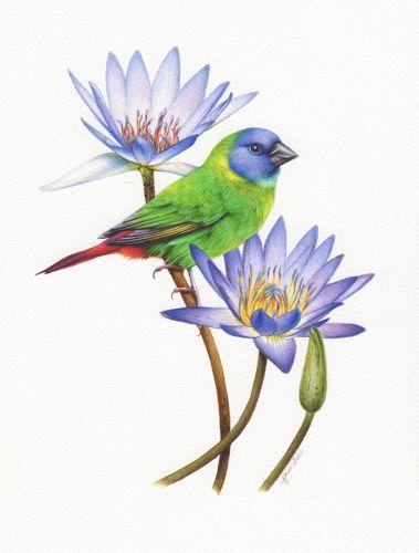 Blue Faced Parrot Finch Illustration