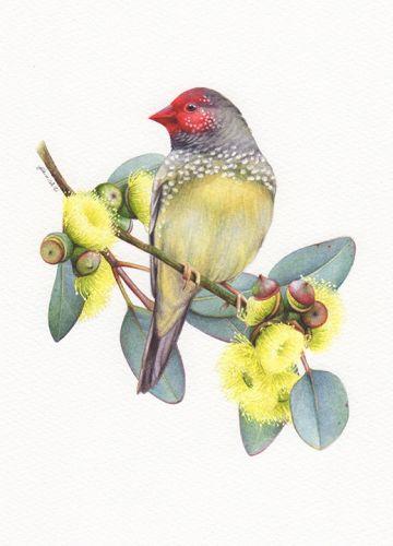 Star Finch Illustration