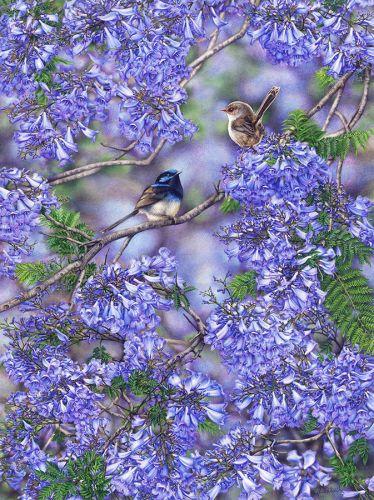 Jacaranda Blooms – Blue Wrens