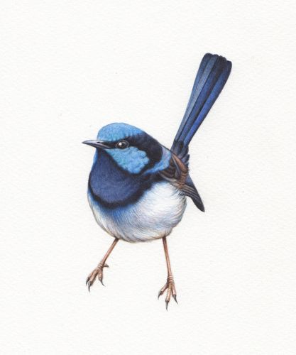 Blue Wren Illustration