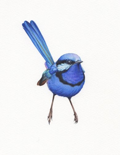 Watercolour Blue Wren Study