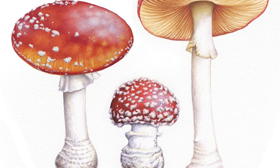 heidi willis_artist_online painting tutorial_toadstools_watercolour_illustrations