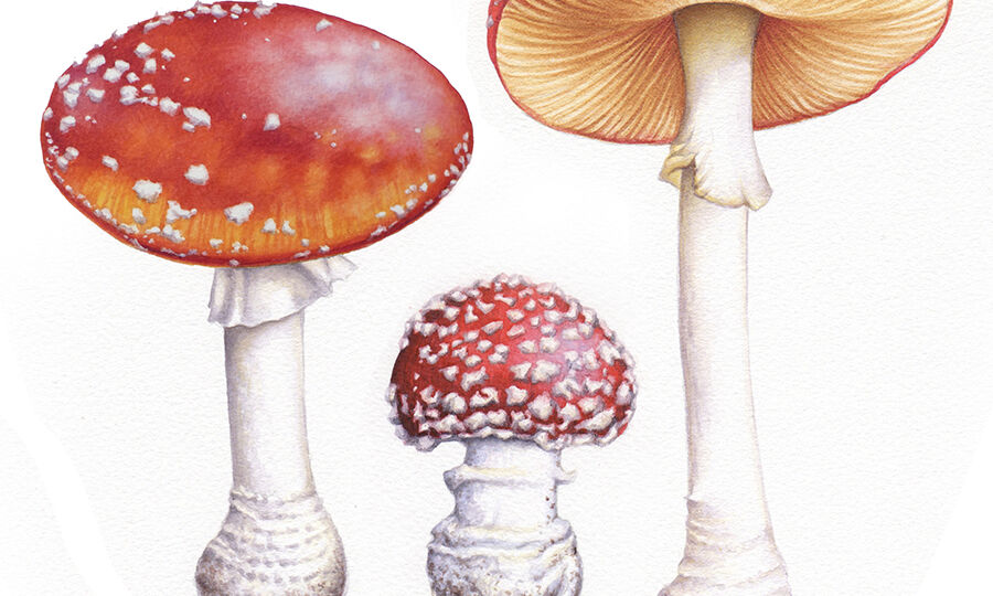 heidi-willis_artist_online-painting-tutorial_toadstools_watercolour_illustrations