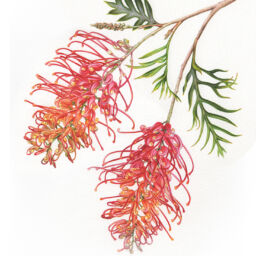 heidi willis_botanical artist_watercolour_grevillea_illustration