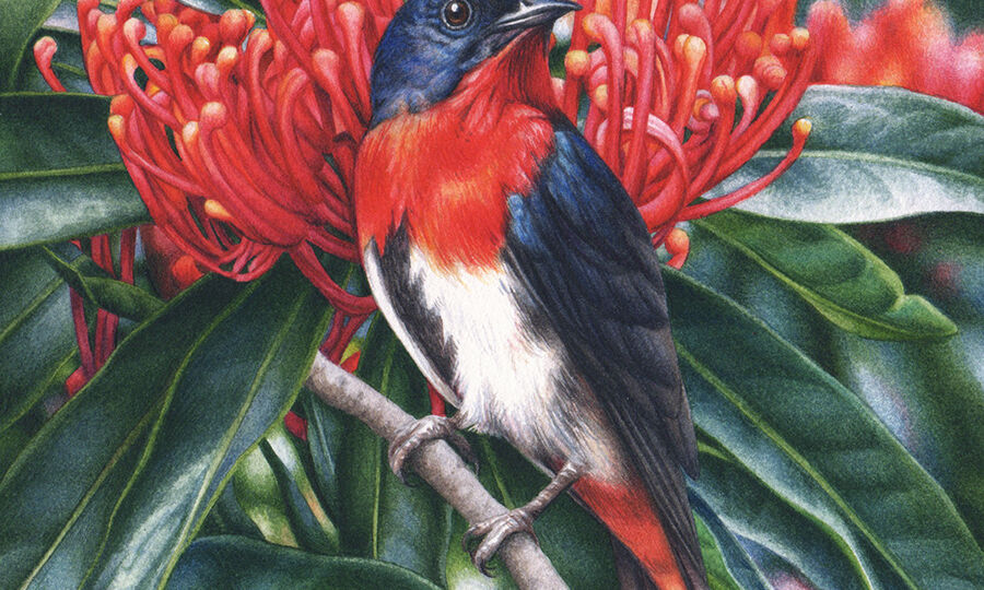 artist_heidi willis_Mistletoebird_bird paintng_watercolour