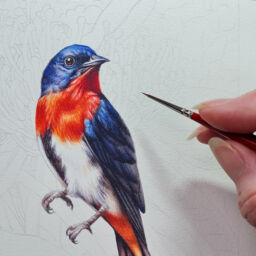 heidi willis_artist_illustrator_bird painting_mistletoebird