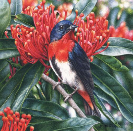 'Mistletoebird and Alloxylon flammeum'