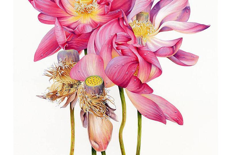 heidi-willis_artist_botanical-illustration_lotus-painting_waterhouse-natural-science-art-prize