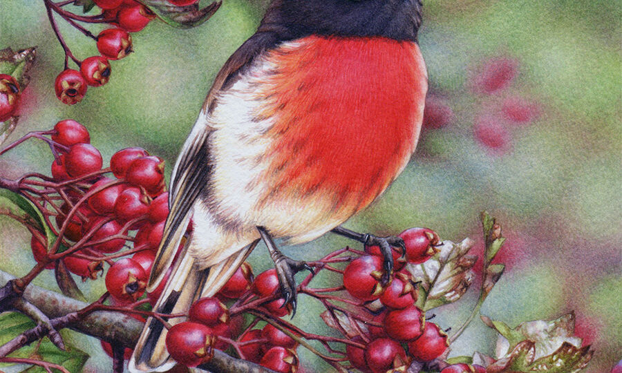 heidi willis_artist_bird painting_watercolour_scarlet Robin_watercolour