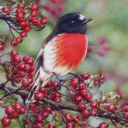 heidi willis_artist_bird painting_watercolour_scarlet Robin_watercolour